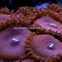 Picture of Aquacultured Red People Eater Palythoa's