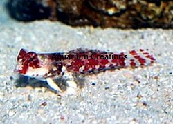 Picture of Red Scooter Blenny, Synchiropus stellatus