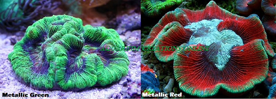 Picture of Aussie Folded Brain Coral, Wellsophylia radiata