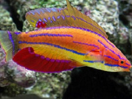 Wrasse Fish for Sale: Reef Safe Wrasses