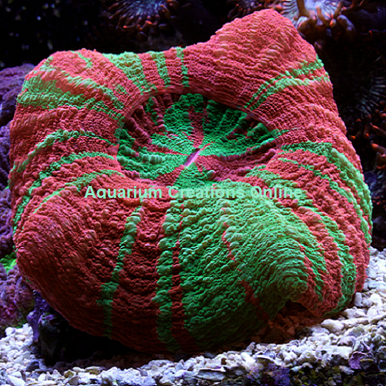Picture of Aussie Reverse Toxic Apple Scolymia Coral
