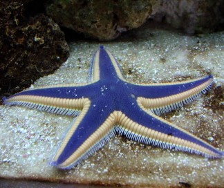 What Corals Do Chocolate Chip Starfish Eat