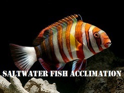 Saltwater Fish Acclimation