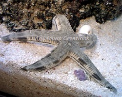 Picture of Sand Sifting Star Fish