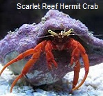 Picture of Scarlet Reef Hermit Crab