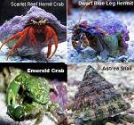 Picture of the Scarlet Reef Hermit Crab Package