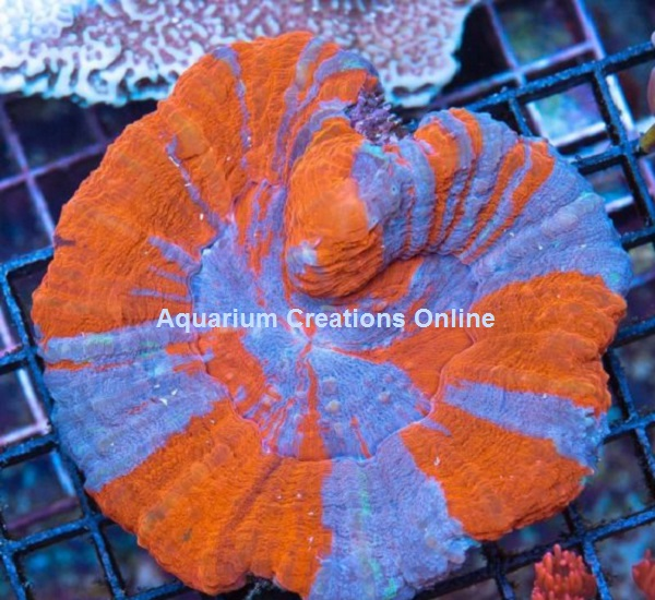 Picture of The Australian Superman Scolymia Coral