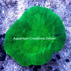 Picture of Neon Green Scolymia Coral Scolymia australis
