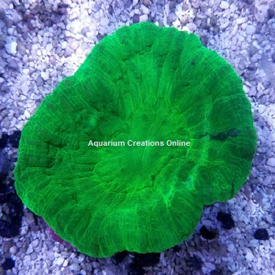Picture of Neon Green Apple Scolymia Coral, Scolymia australis from Australia