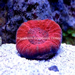 Picture of Red Scolymia australis coral