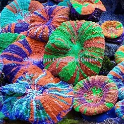 Picture of Australian Scolymia Corals, Ultra