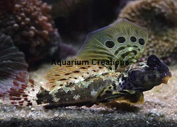 Picture of Scooter Blenny, Synchiropus stellatus
