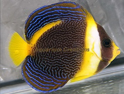 Picture of Scribbled Angelfish