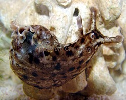Picture of Blunt-end Sea Hare
