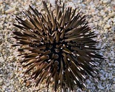 Picture of Short Spine Urchin