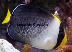 Picture of Singapore Angelfish