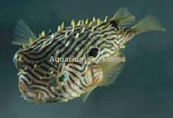 Picture of Spiney Box Puffer
