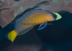 Picture of Splendid Dottyback,Captive Bred