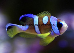 Picture of Pearl Eye Spotcinctus Clownfish