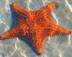 Picture of Bahama Sea Star