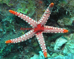 Picture of Tile Sea Star