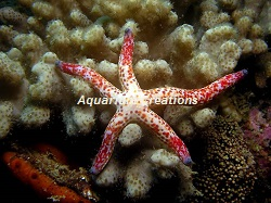 Picture of Dalmation Linckia Starfish