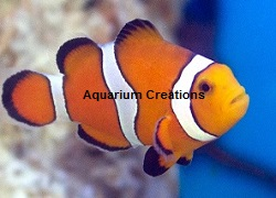 Picture of Stubby Ocellaris Clownfish