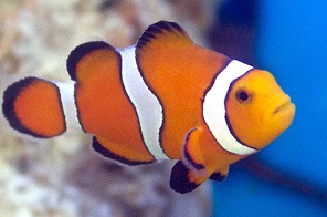Stubby Clownfish