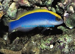 Picture of Sunrise Dottyback, Captive Bred