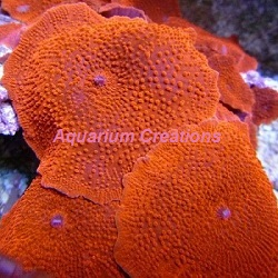 Picture of Super Red Mushroom Coral, Discosoma sp.