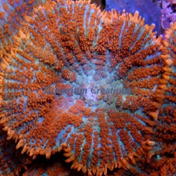 Picture of Superman Mushroom Coral, Rhodactis Inchoata