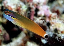 Picture of Tail Spot Blenny