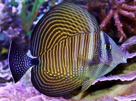 Tang Fish, Yellow Tangs and other Surgeon Fish