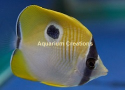 Picture ofTeardrop Butterflyfish, Chaetodon unimaculatus