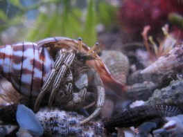 Scarlet Hermit Crab | Saltwater Aquarium Crabs Ocean Crabs Marine Aquarium Crabs
