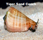 Picture of Tiger Sand Conch