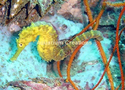 Picture of Tigertail Seahorse, Hippocampus comes