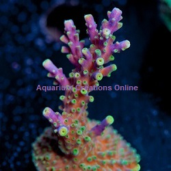 Picture of Purple Tri-Color Acropora, Aquacultured by ACOL