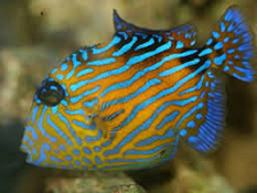 Picture of Trigger fish
