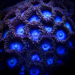 Picture of Tubbs Blues Zoanthids