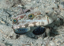 Picture of Twin Spot Signal Goby ><BR>