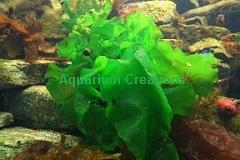 Ulva Lactuca Macroalgae Also Called Sea Lettuce