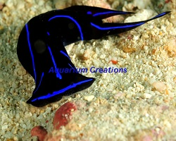 Picture of Blue Velvet Sea Slug