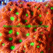 Picture of Red and Neon Green War Coral, Aquacultured, Favites pentagona