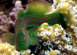Picture of Warpaint Clown Goby