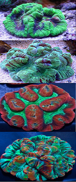 Picture of Australian Welsophyllia Folded Brain Corals