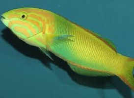Wrasse for Fish Only Tanks