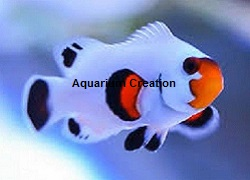 Picture of Whyoming White Clownfish