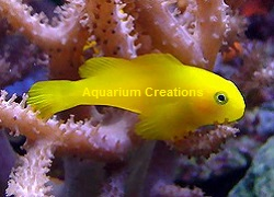 Picture of Yellow Clown Goby
