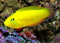 Picture of Yellow Wrasse,Halichoeres chrysus